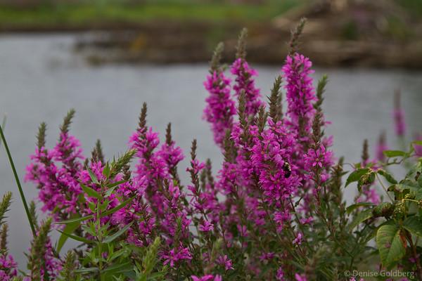 pink, wildflowers