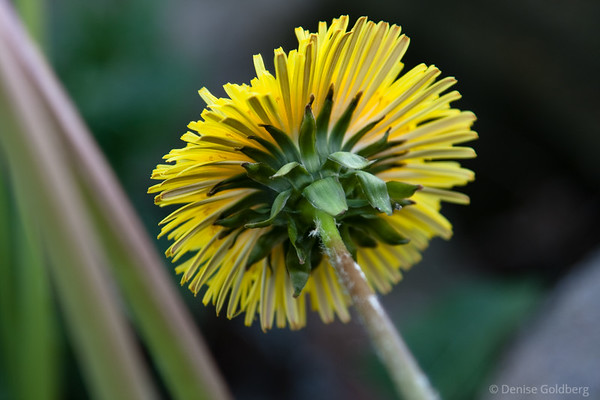 dandelion from the back